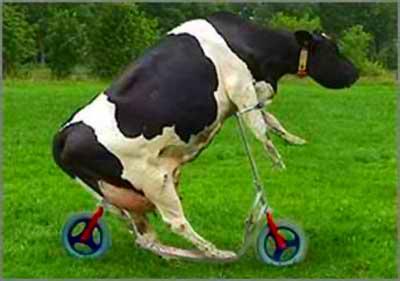 minha vaca de estimação